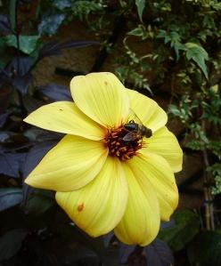 Bee Dahlia photograph
