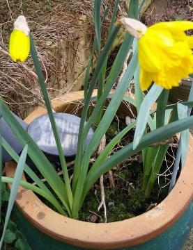 Spring plants Daffodils