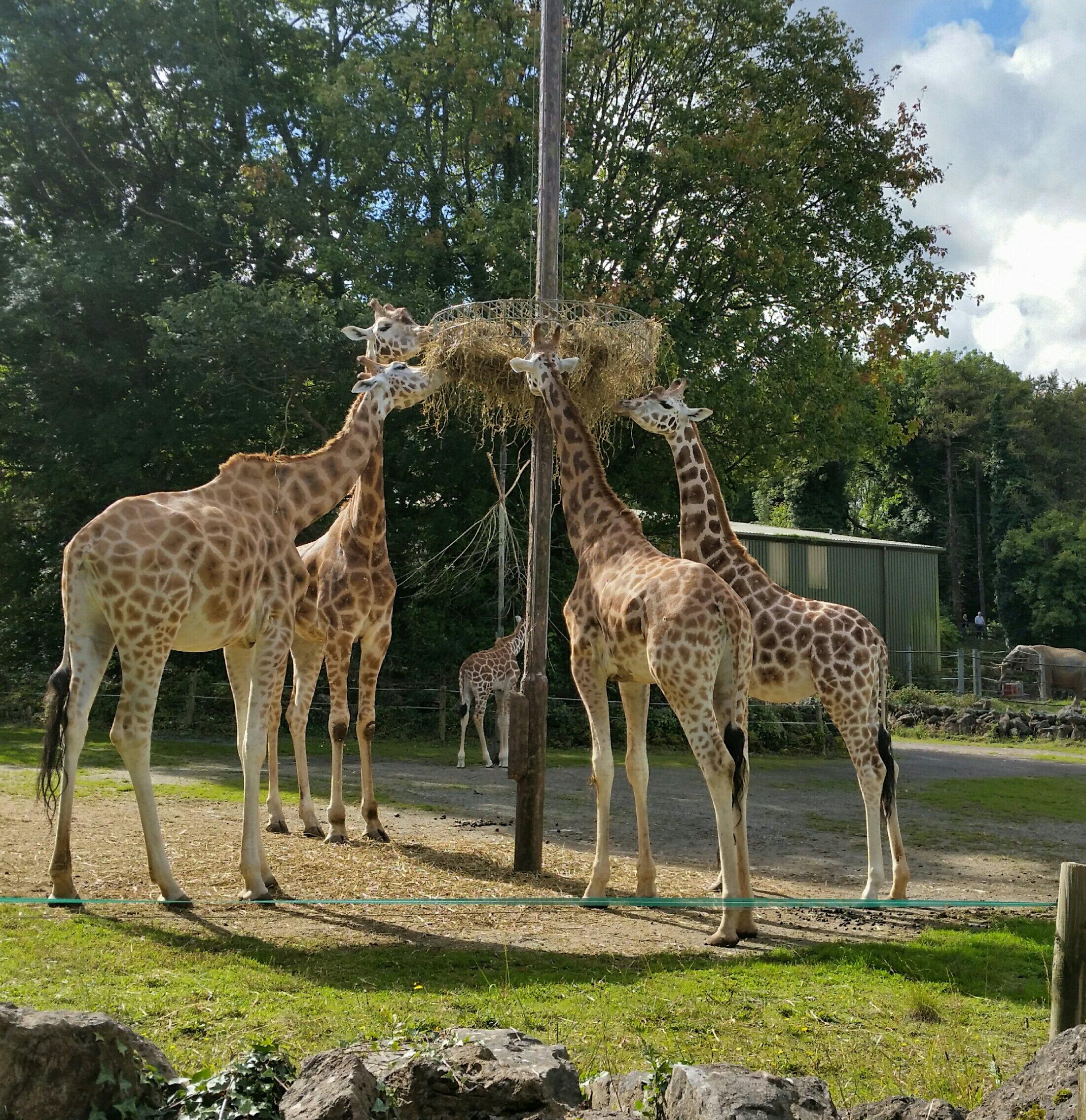 Giraffes photograph taken at Paingnton zoo in Devon