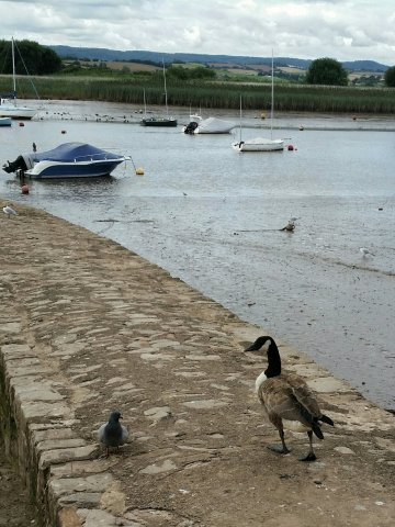 A pigeon and canada goose birds at Topsham